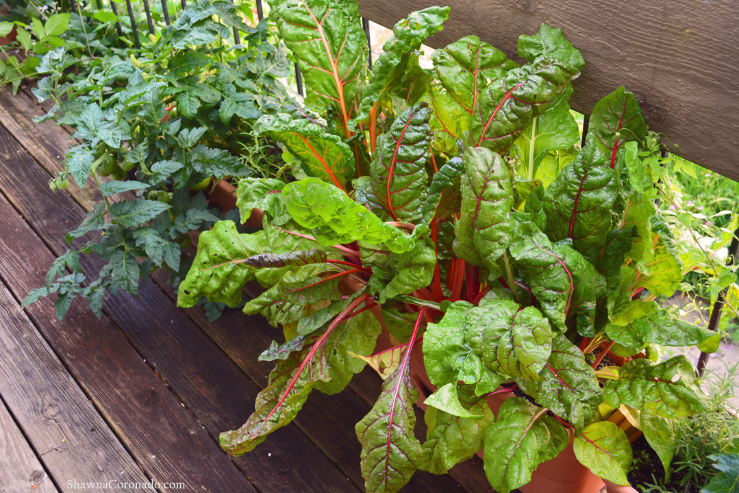 Balcony Wall Garden and Swiss Chard Tomato Containers Garden © copyright Shawna Coronado