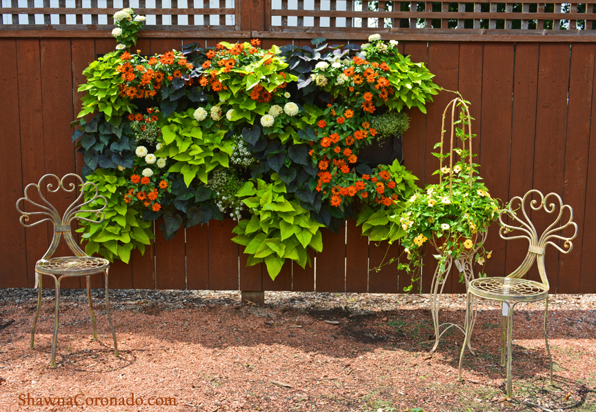 Living Wall with Sweet Potato Vine and Zinnia © copyright Shawna