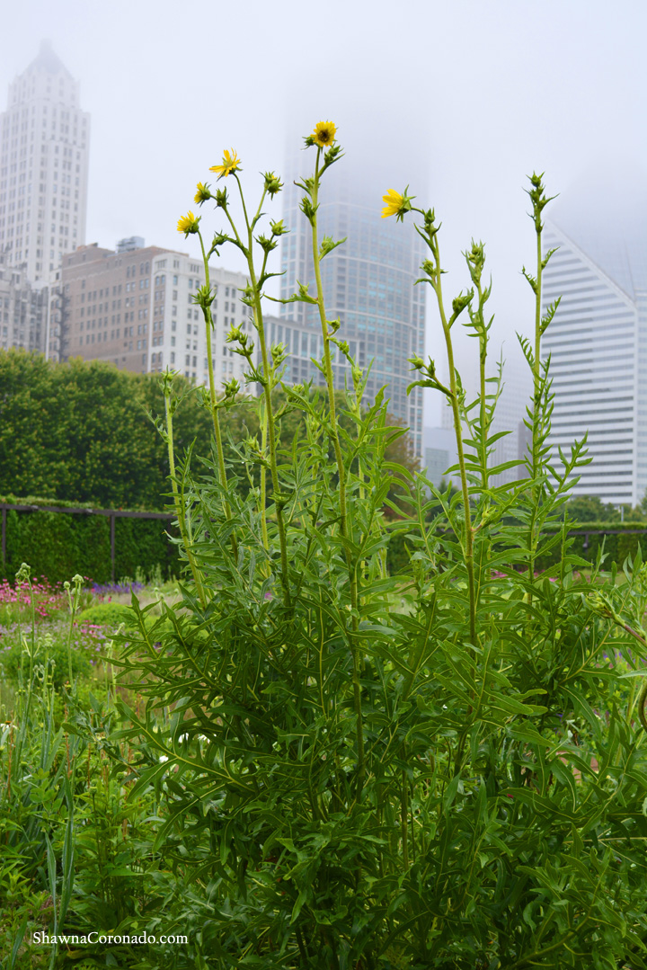 Lurie Garden Compass Plants