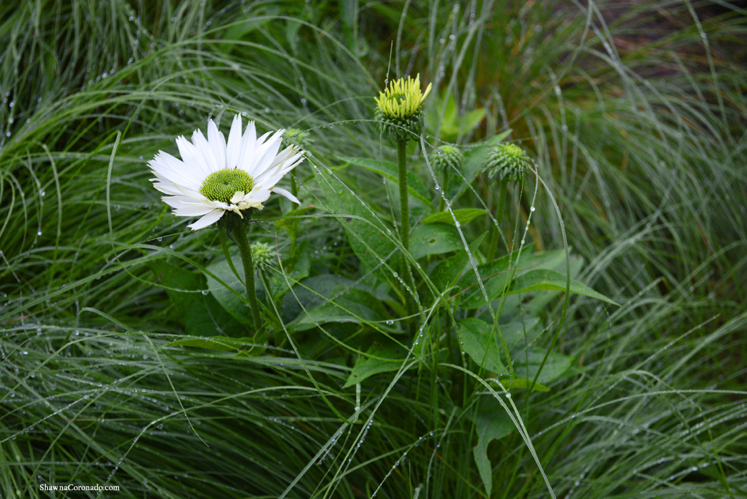 Lurie Garden Dew on White Coneflower by Shawna Coronado