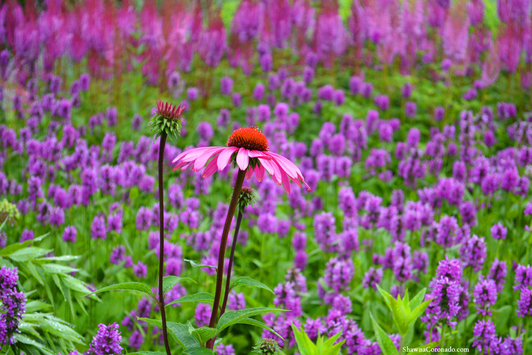 Lurie Garden Purple Coneflower by Shawna Coronado