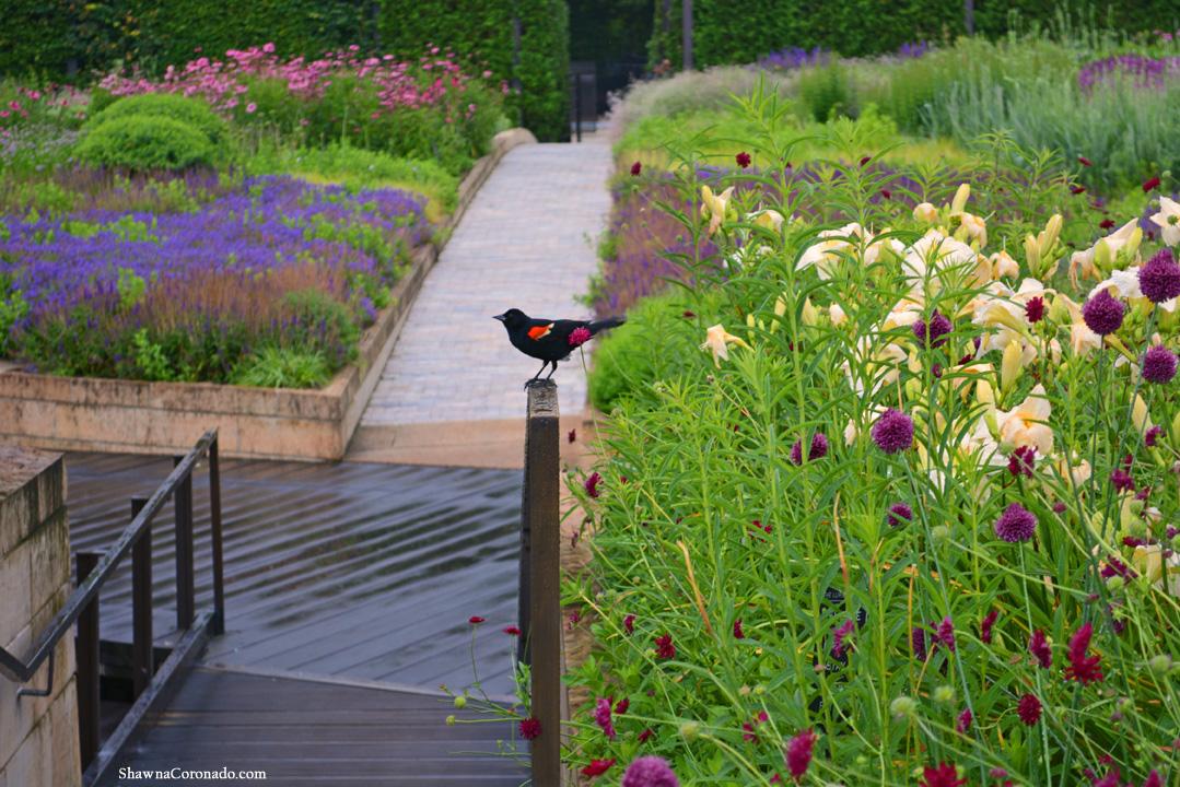 Lurie Garden Red Winged Blackbird by Shawna Coronado