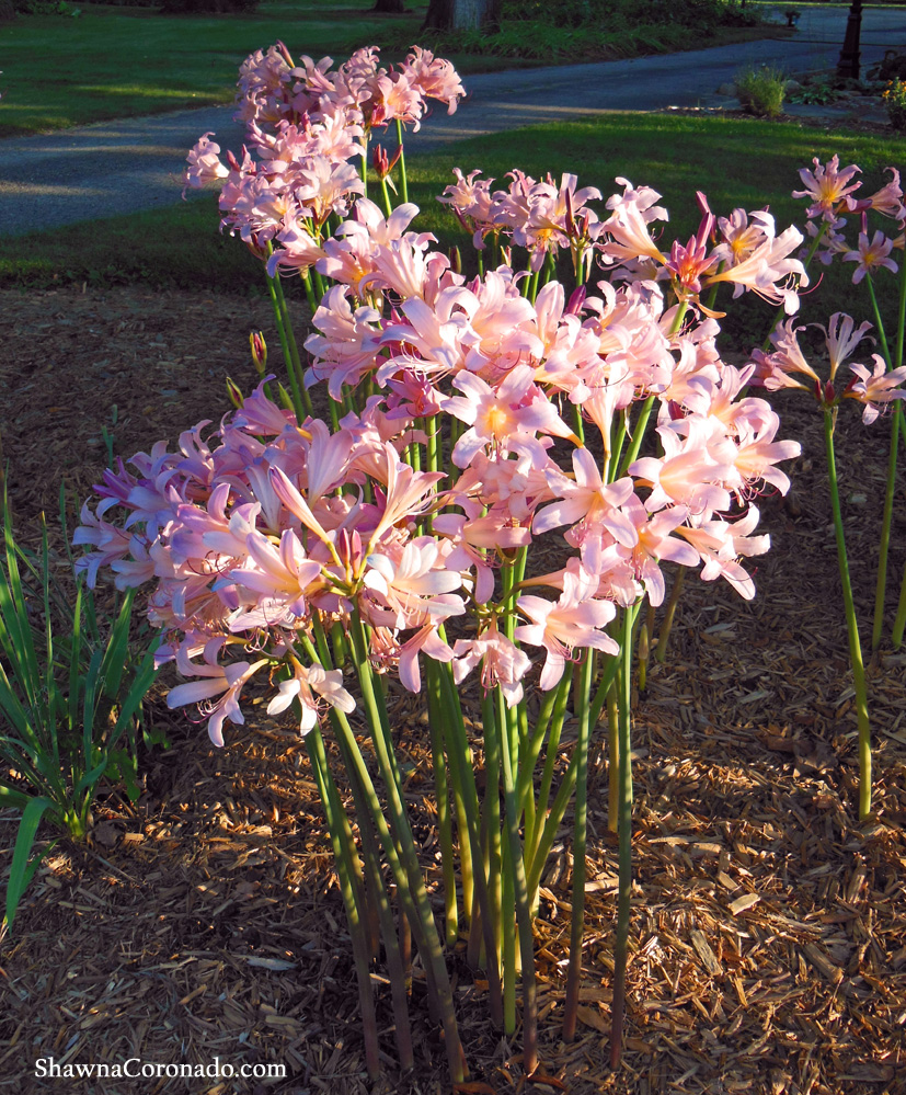 Plant a pink surprise lily bulb lycoris squamigera shawna coronado surprise lily naked lady mystery lily or lycoris squamigera mightylinksfo