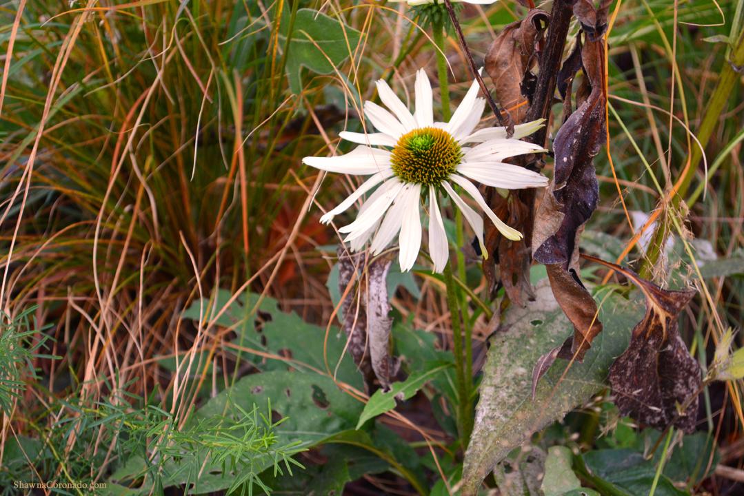 Fall Coneflower Lurie Garden Chicago © Shawna Coronado.jpg