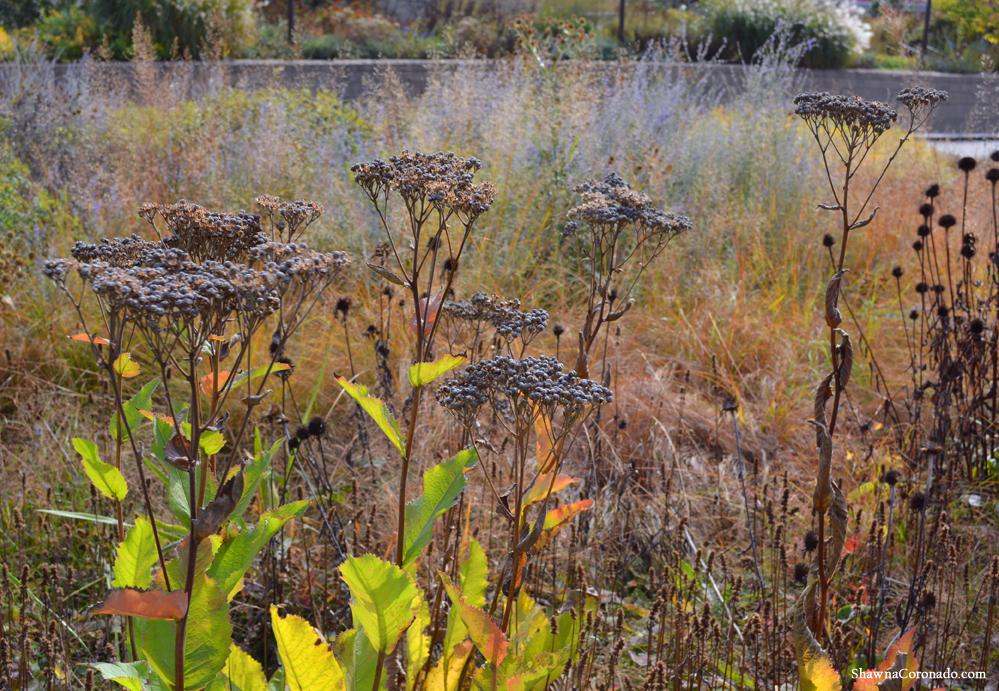 Fall Native Plants Lurie Garden © Shawna Coronado.jpg