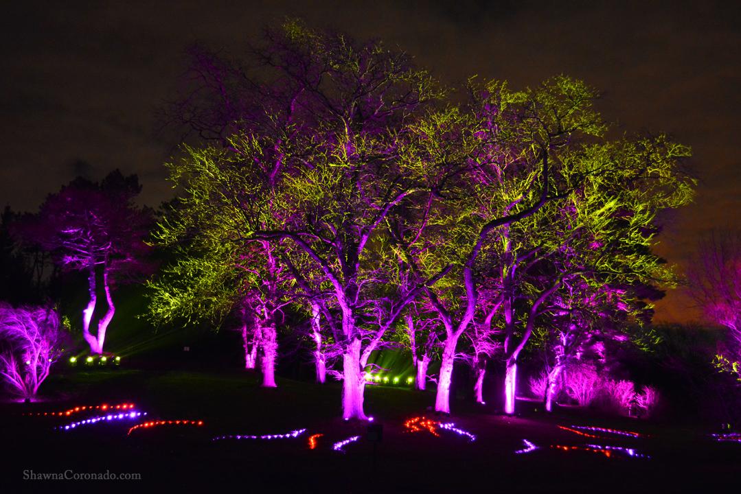 Morton Arboretum Illuminations Purple and Gold Trees