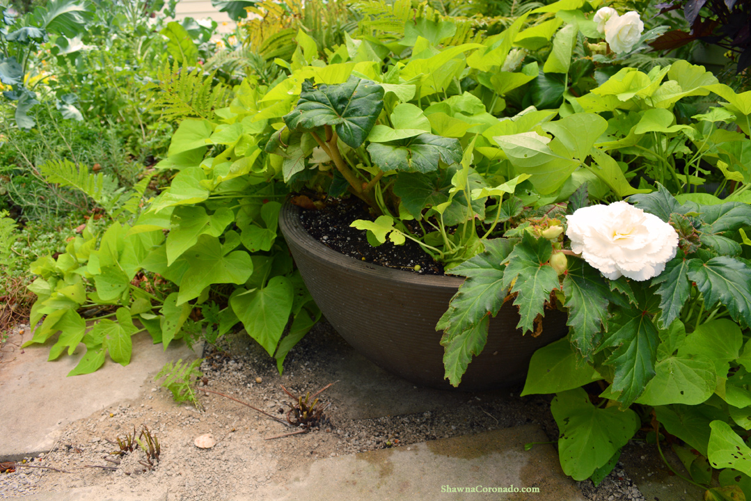 Container Crescent Garden Begonia and Sweet Potato Vine