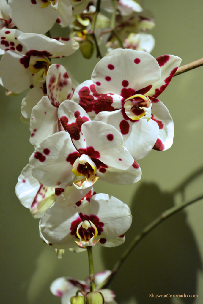 Chicago Botanic Orchid Show Burgundy and White