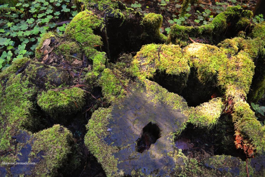 Muir Woods Park Moss Logs copyright Shawna Coronado
