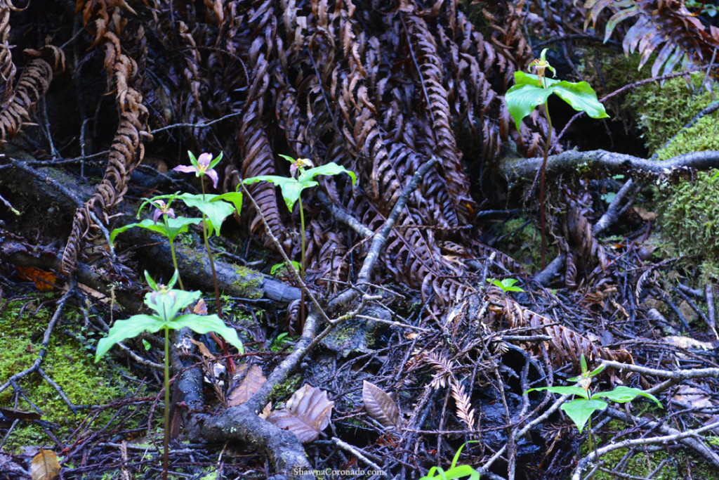 Muir Woods Park Trilium copyright Shawna Coronado.jpg
