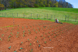 Biltmore Estate Broccoli Fields