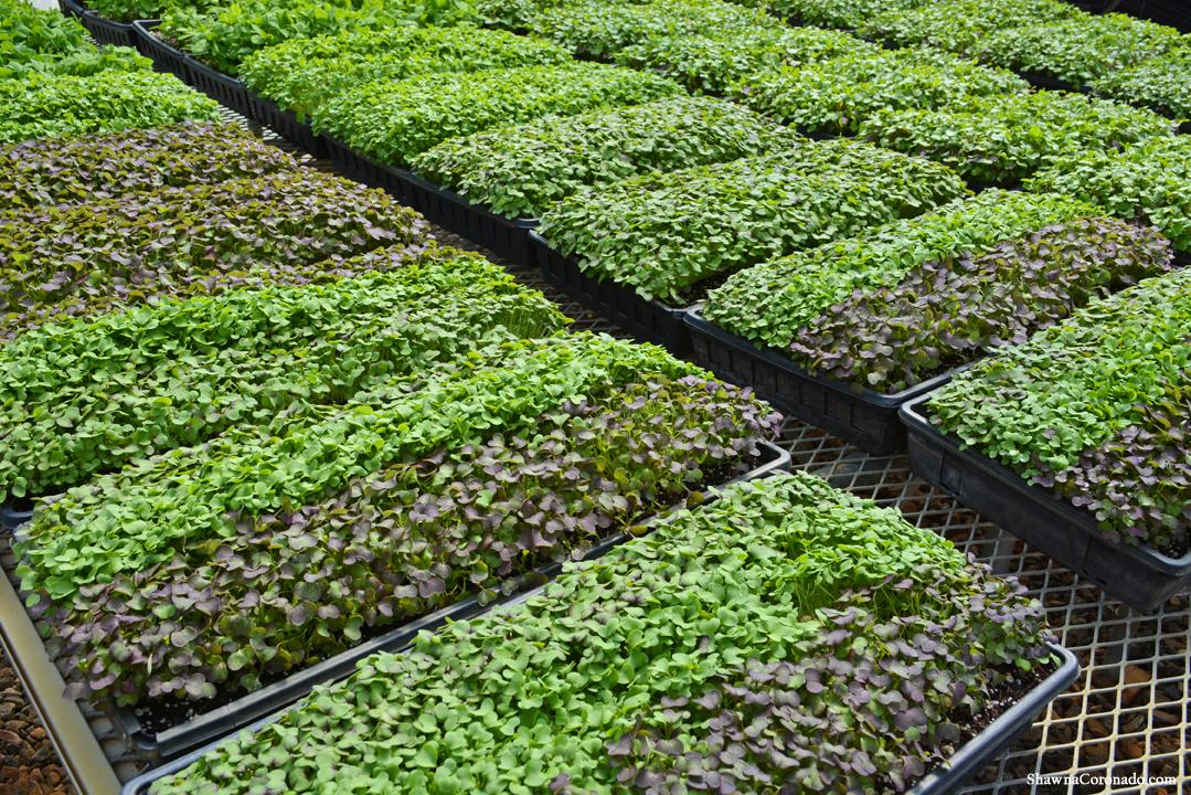 Biltmore Estate Micro Greens