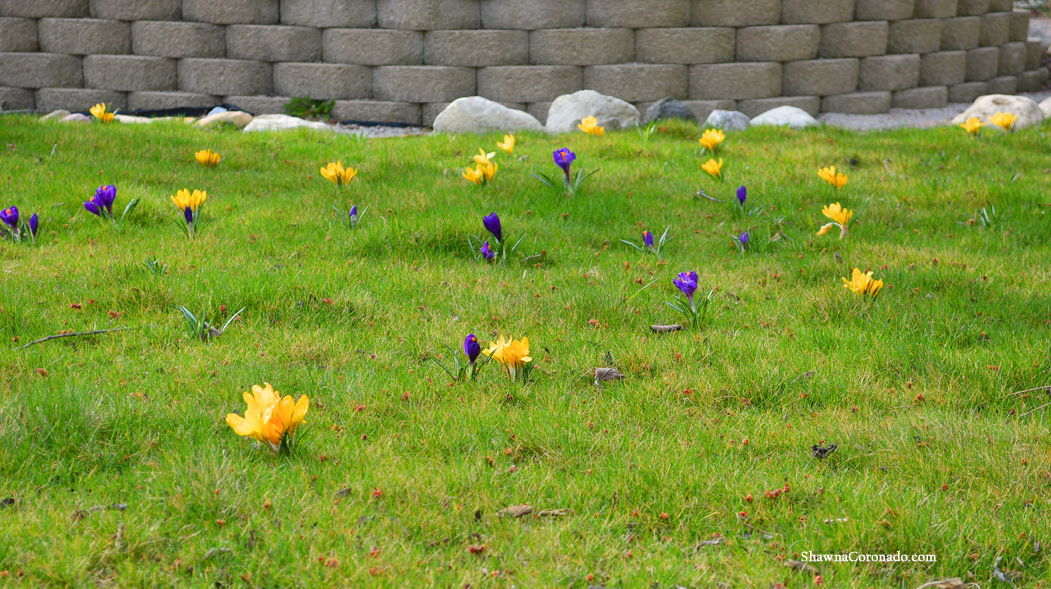 Eco Lawn with Bulbs in Spring