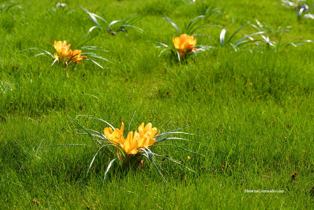 Eco Lawn with Crocus Bulbs