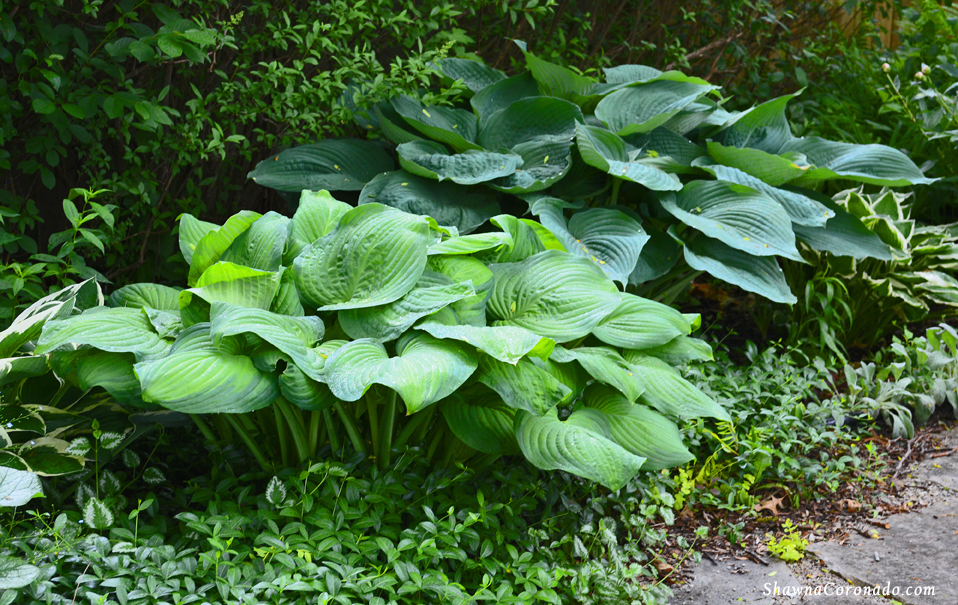 How to Make Hosta Leaves Bigger
