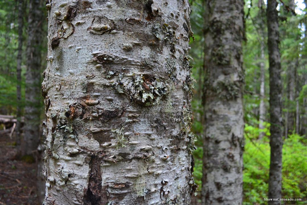 Lake Trillium and Mount Hood Tree Bark copyright Shawna Coronado