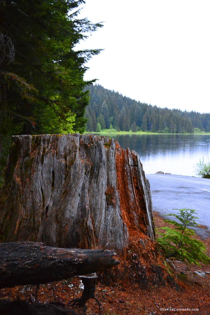 Lake Trillium on Mount Hood Tree Stump copyright Shawna Coronado
