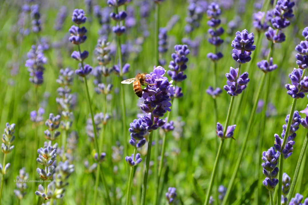Lavender Bee Pollinating Flower photo copyright Shawna Coronado