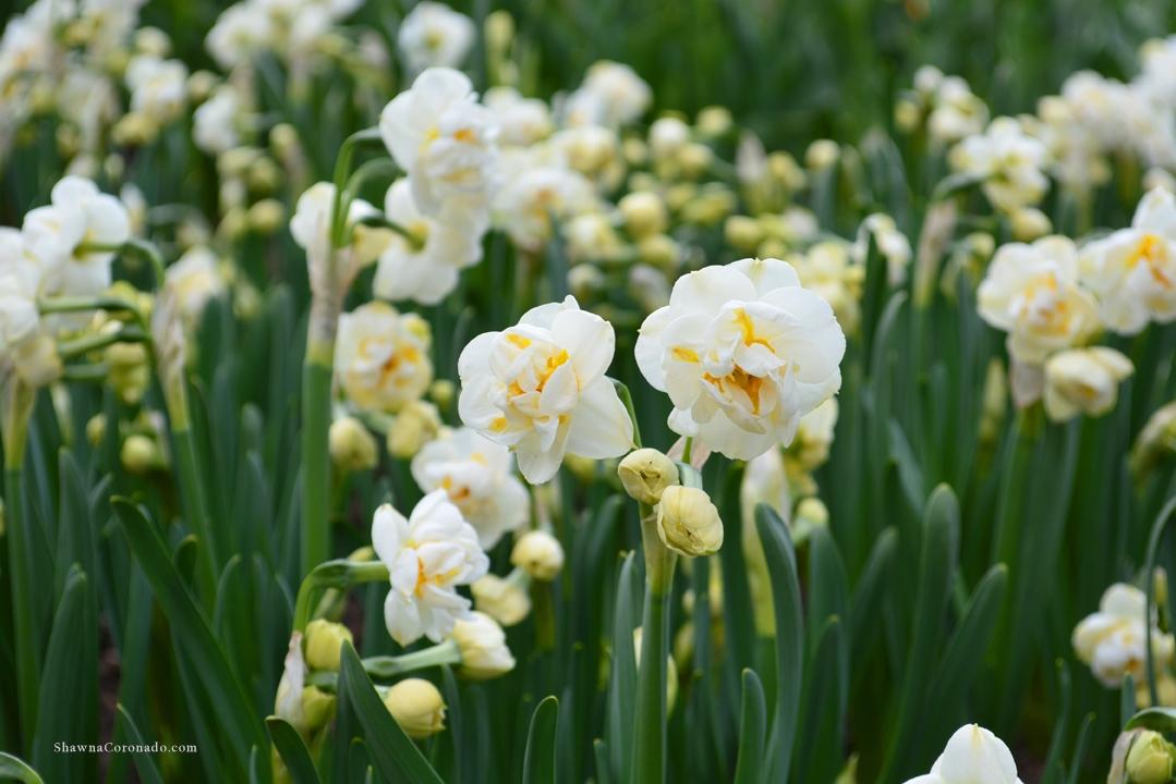 Bulb Popper Double Daffodils