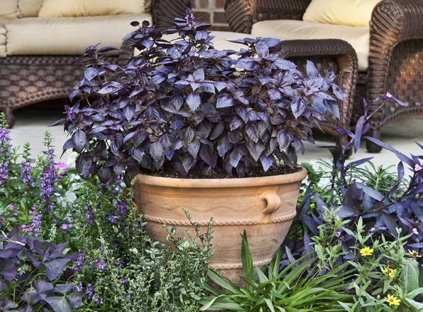 Purple Basil is a Great Ornamental Edible