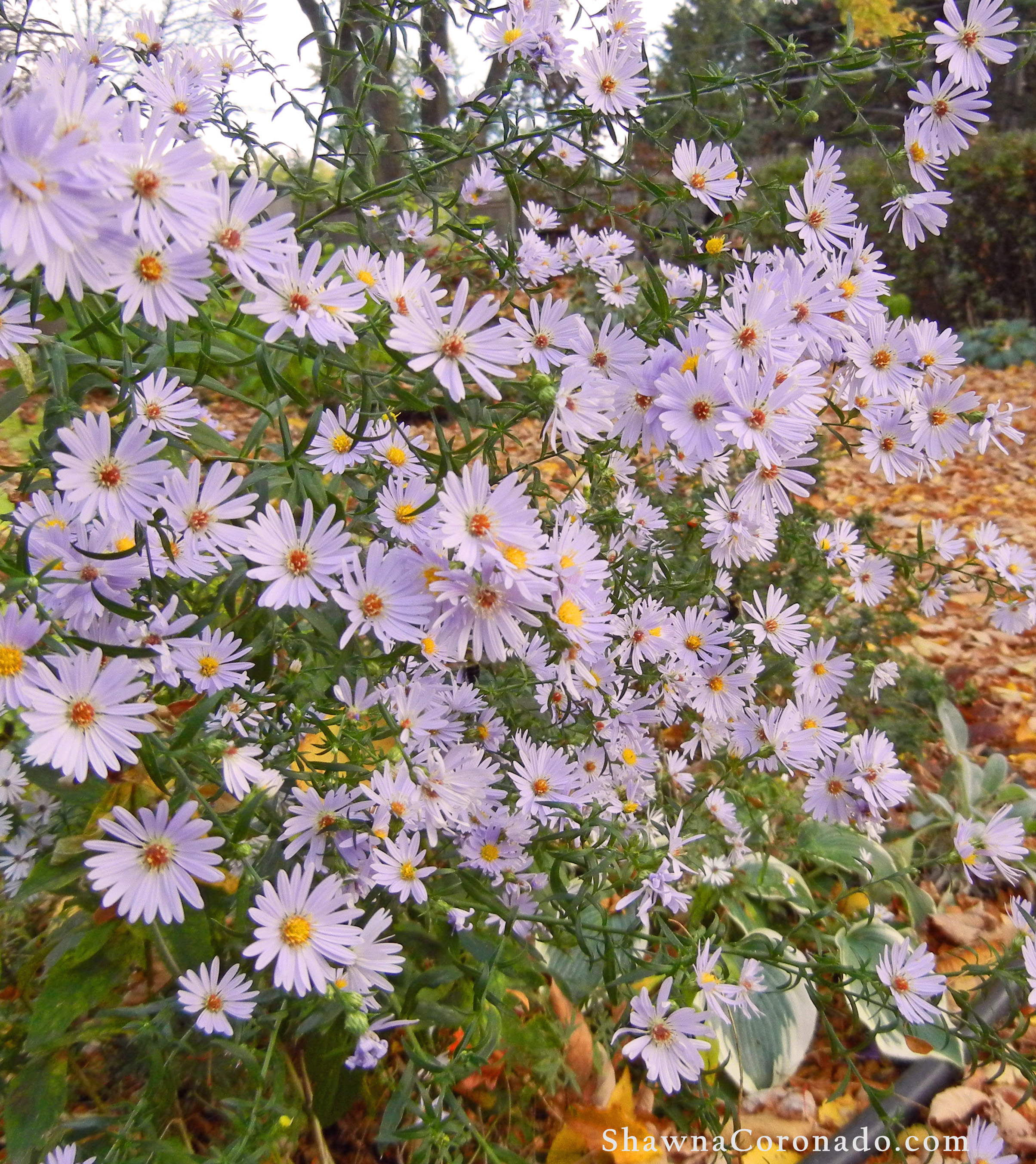 Plant Fall Blooming Aster Flowers