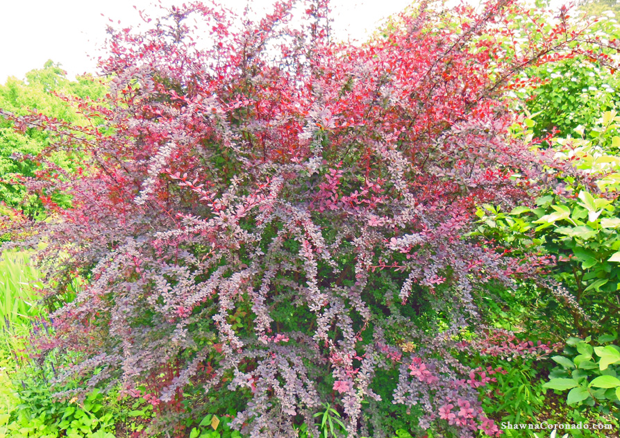 How to grow barberry