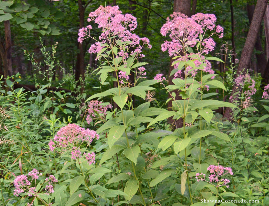 Joe Pye Weed Growing Tips