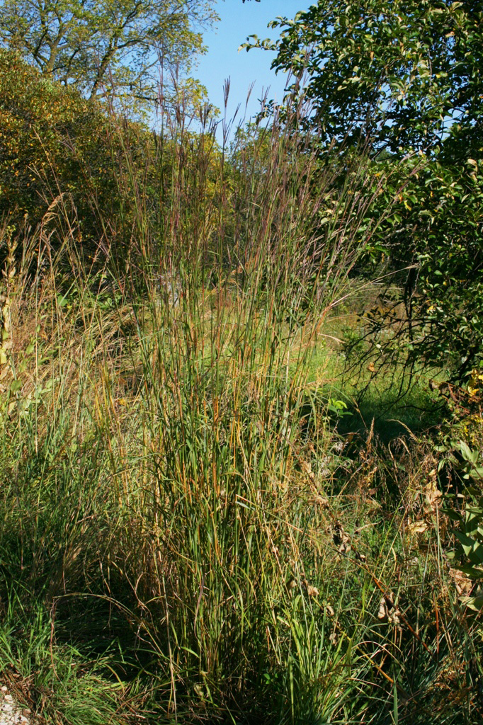 How to Grow Big Bluestem Grass