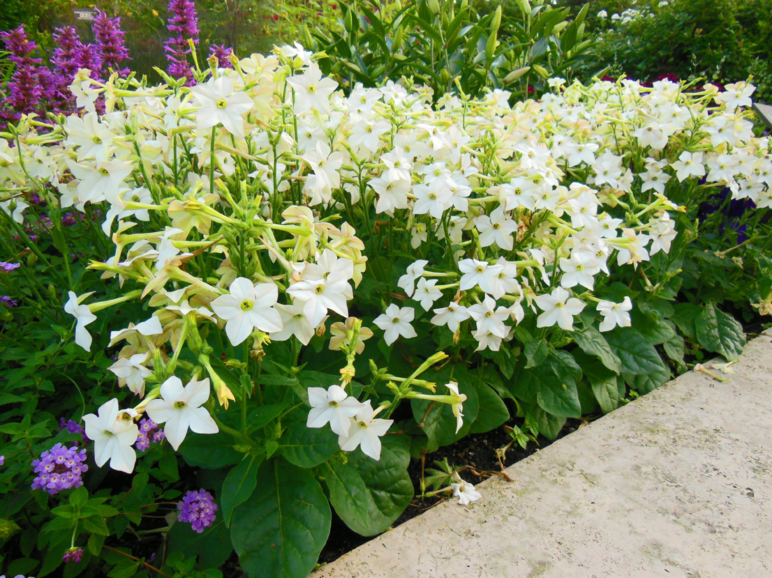Flowering Tobacco Nicotiana Growing Tips