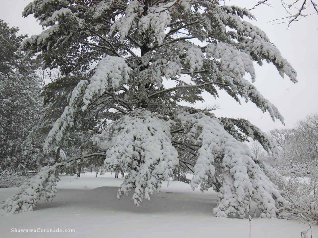 Pine Trees for Winter Interest Landscaping