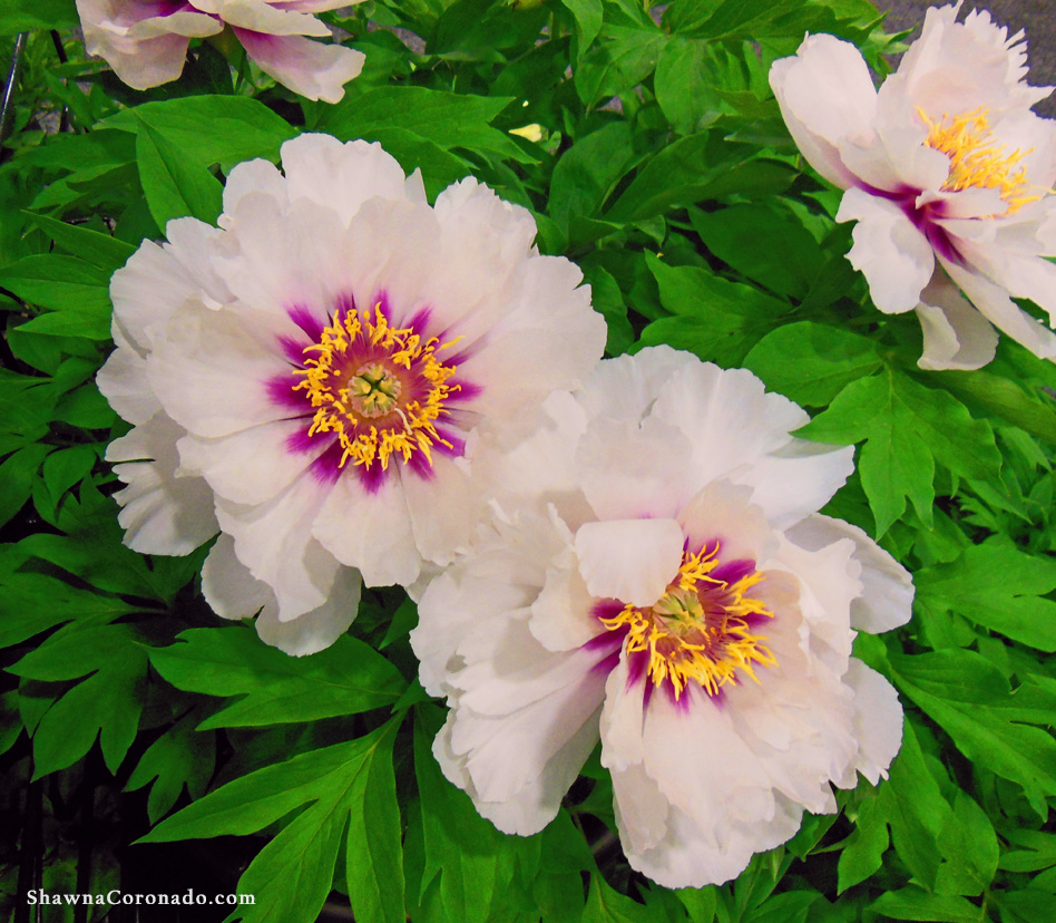 Tree Peony Shrub Growing Tips