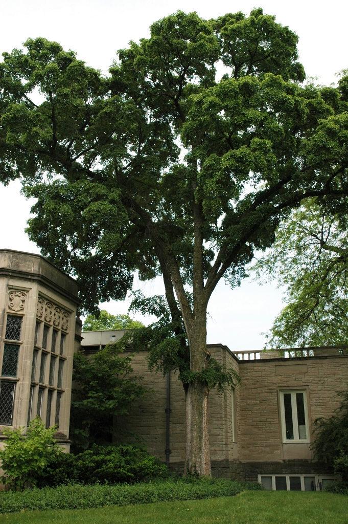 Trees - Hybrid Elm