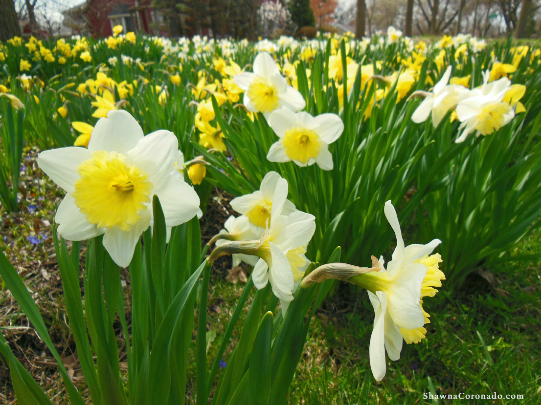 How to Grow Daffodils in Your Garden