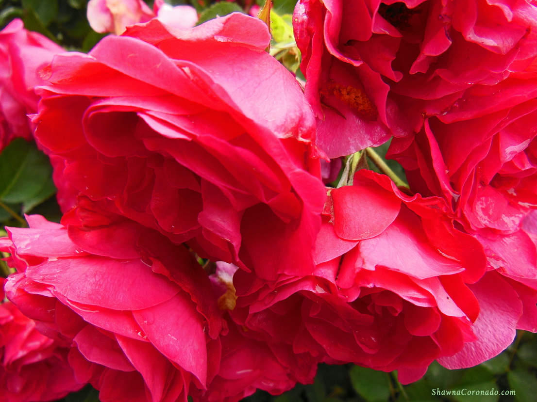 How to Organically Fertilize Roses