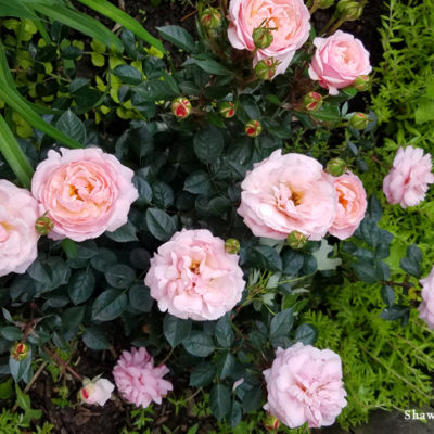 Easy Elegance® Fall Rose Maintenance Tips