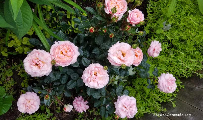 Easy Elegance® Fall Rose Maintenance Tips