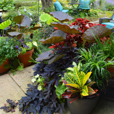 Colocasia Distant Memory in Container Gardens