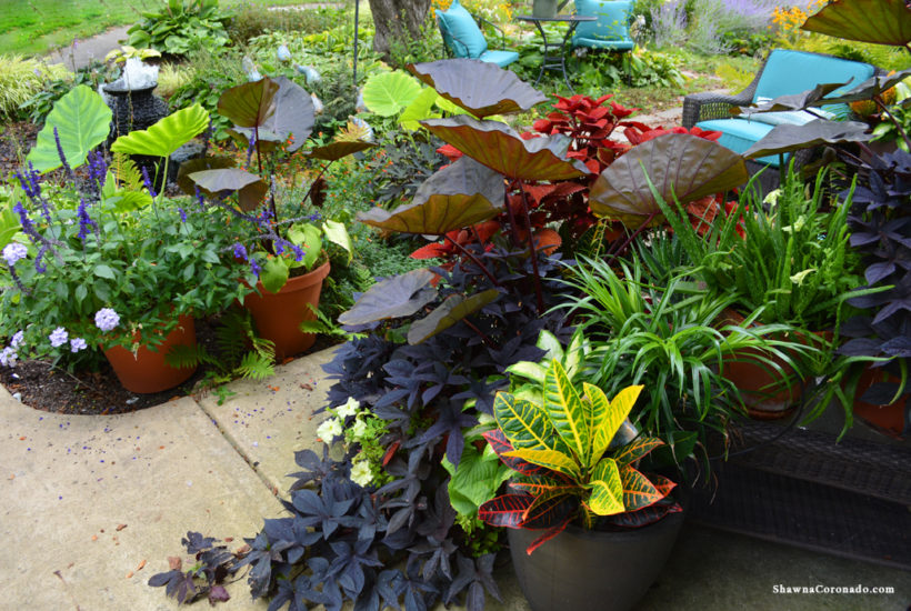 Design Container Gardens with Colocasia 'Distant Memory'
