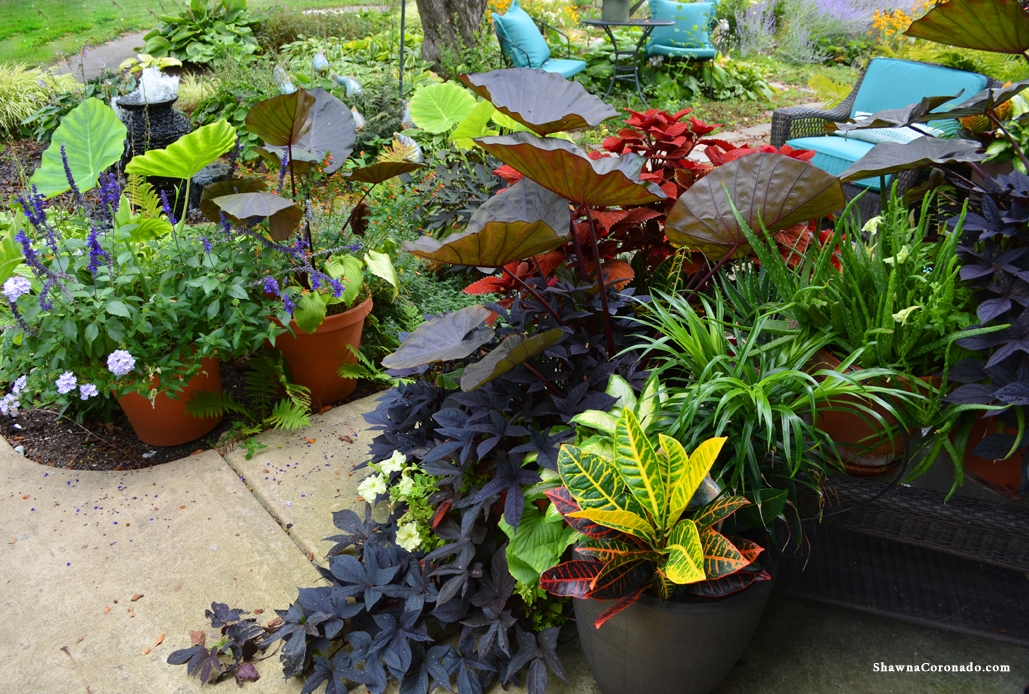 Colocasia Distant Memory in Container Gardens