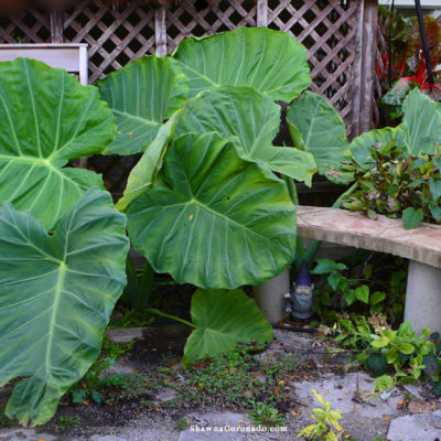 Growing Colocasia 'Thailand Giant' in a Northern Garden