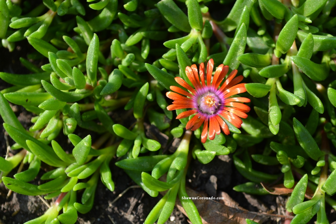 Delosperma Fire Spinner Blossom