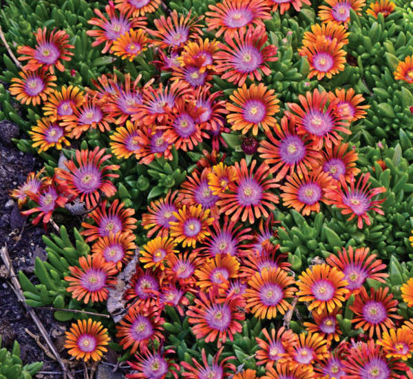 Hardy Ice Plant or Delosperma is a Perfect Rock Garden Plant