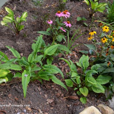 How to Plant a Small Perennial Pollinator Garden