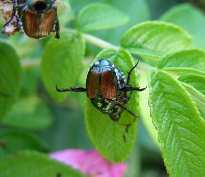 MGK Japanese Beetle
