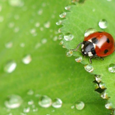MGK Ladybug