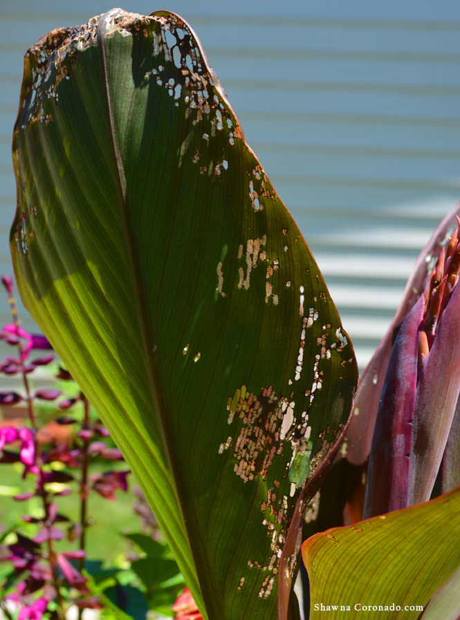 Japanese Beetles on canna lily 3