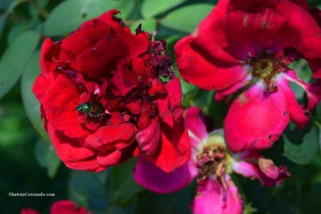Japanese Beetles on roses 3