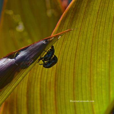 Japanese Beetles partnered on canna lily 2