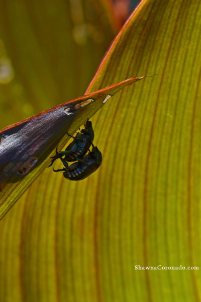 Japanese Beetles partnered on canna lily 2