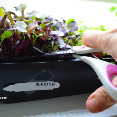How to Harvest Microgreens
